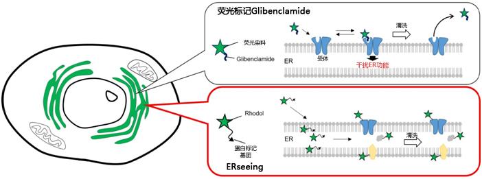ERseeing <Endoplasmic Reticulum Green>-价格-厂家-供应商-wko富士胶片和光